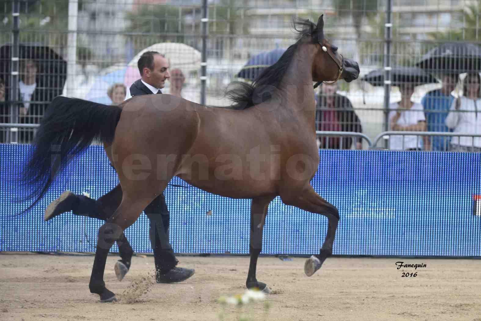 Championnat du Pur-Sang Arabe de la Méditerranée et des pays Arabes - MENTON 2016 - GHAZALAH AL AALYA - Notre Sélection - 2
