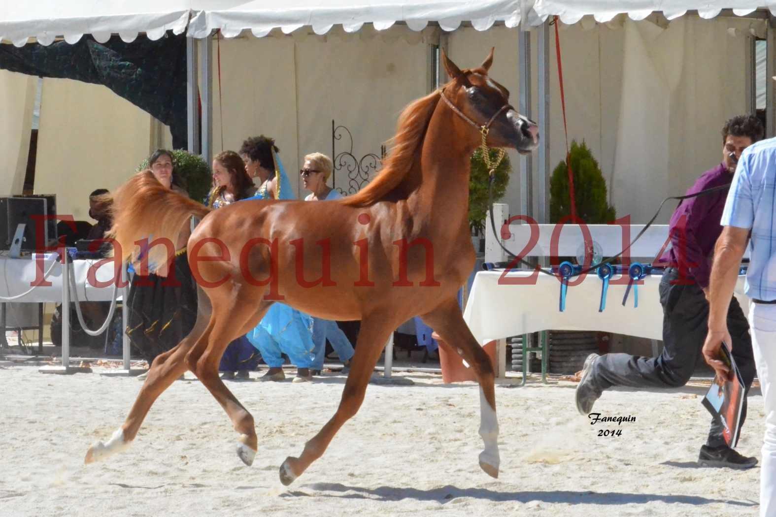 Concours National de Nîmes de chevaux ARABES 2014 - Notre Sélection - TSAR NERIO - 04