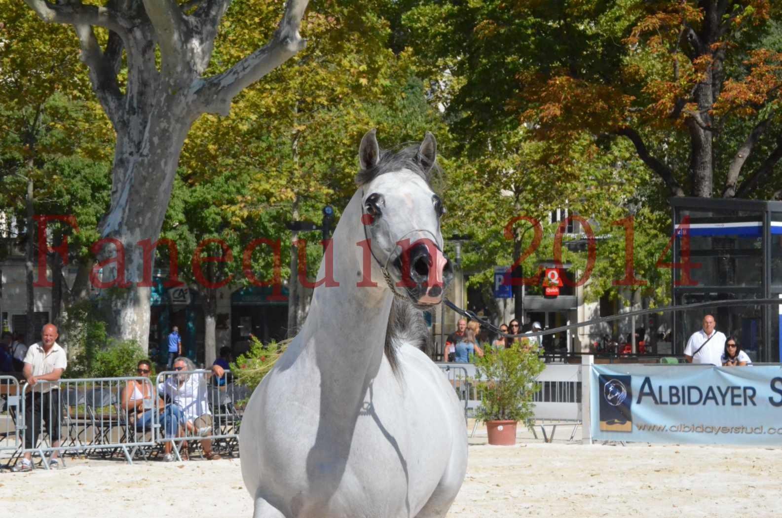 Concours National de Nîmes de chevaux ARABES 2014 - Sélection - SHAOLIN DE NEDJAIA - 52