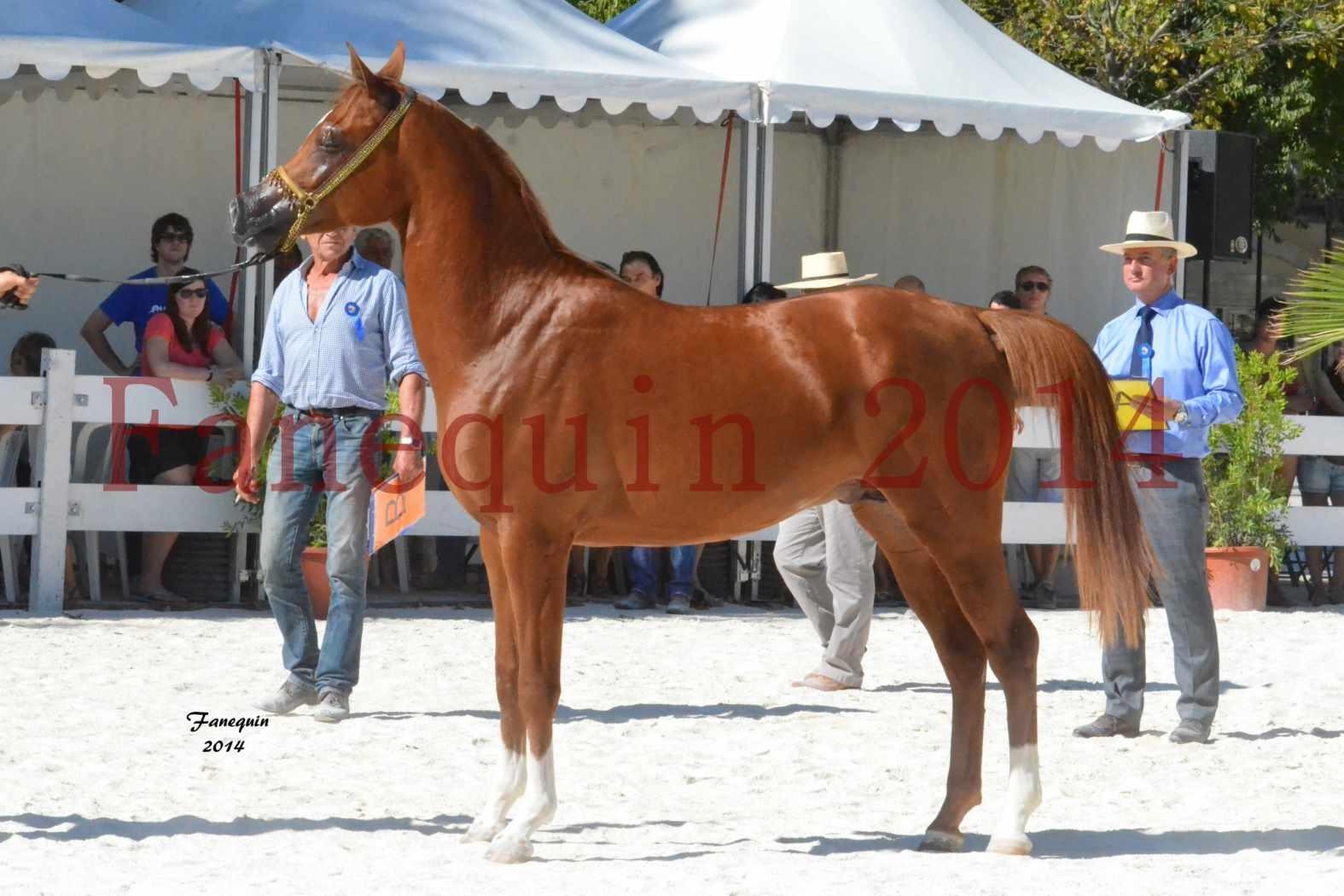 Concours National de Nîmes de chevaux ARABES 2014 - Notre Sélection - DZHARI NUNKI - 12