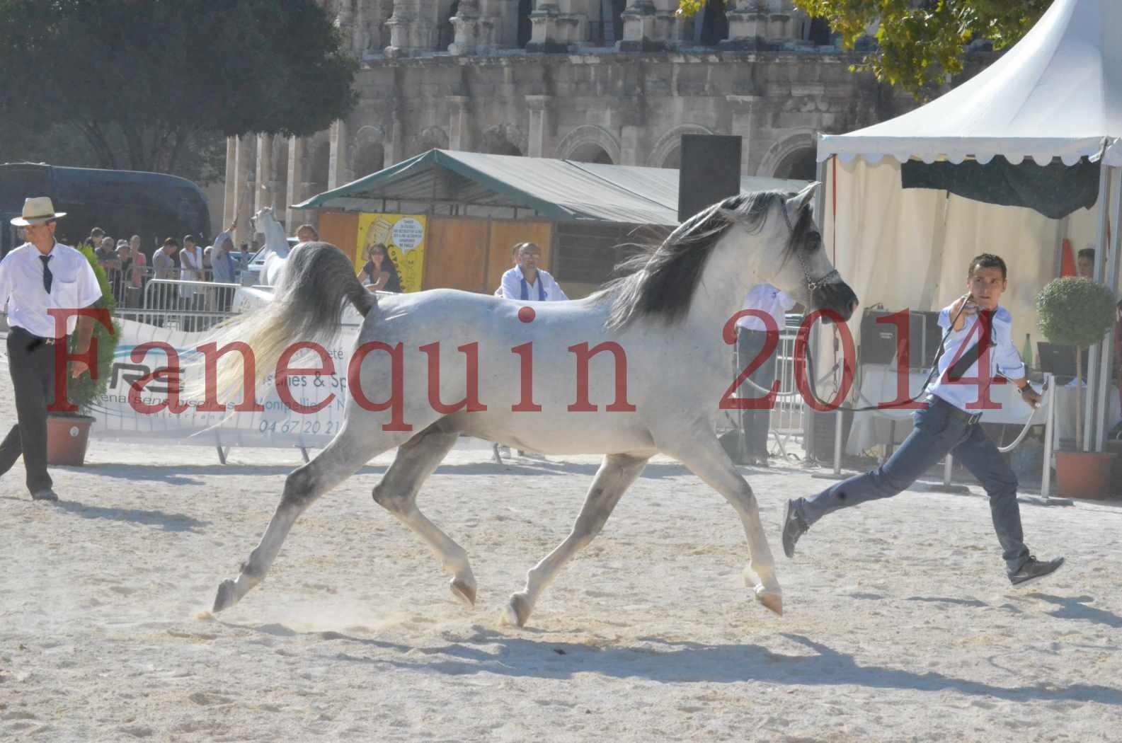 Concours National de Nîmes de chevaux ARABES 2014 - Championnat - SHAOLIN DE NEDJAIA - 10