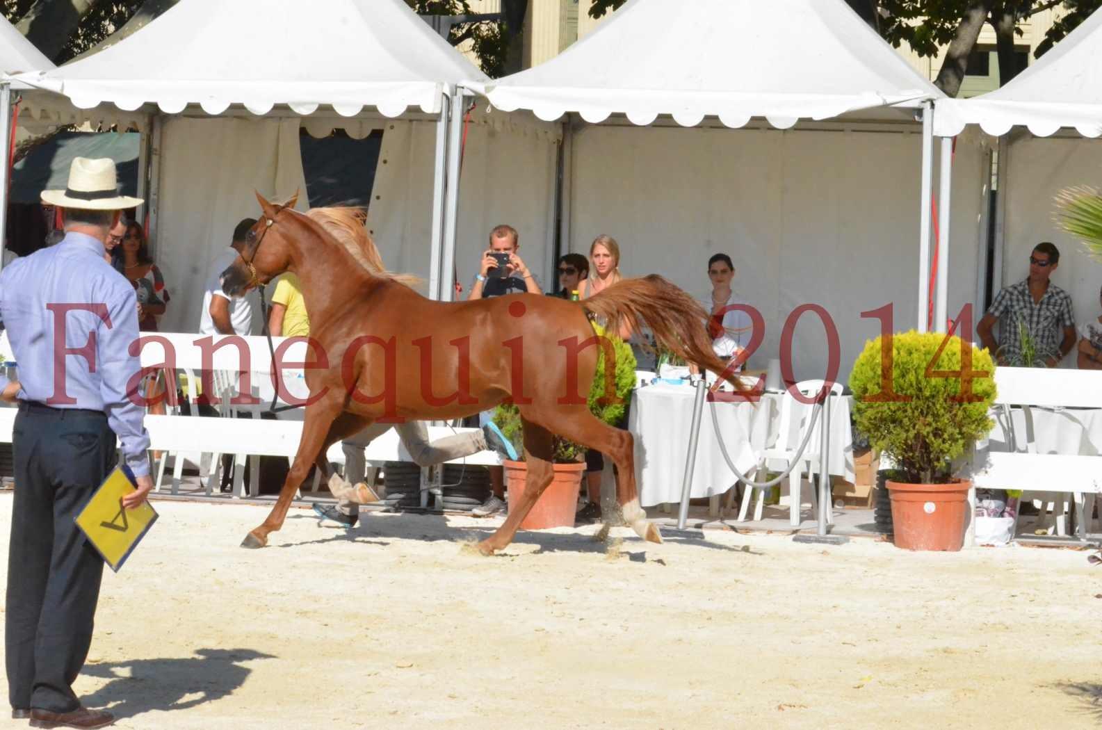 Concours National de Nîmes de chevaux ARABES 2014 - Championnat - MASSAI DE BARREL - 45