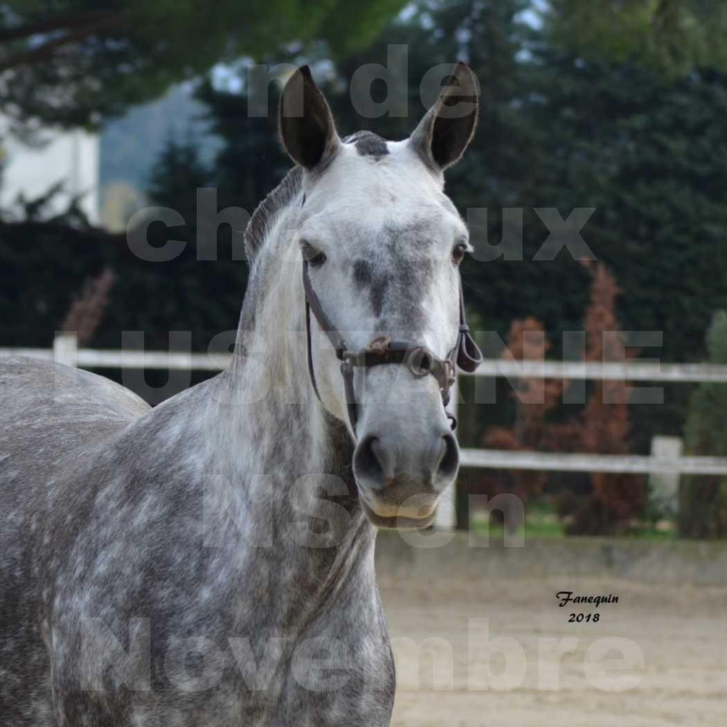 Confirmation de chevaux LUSITANIENS aux Haras d'UZES Novembre 2018 - JAVA DO REAL - Portraits - 4