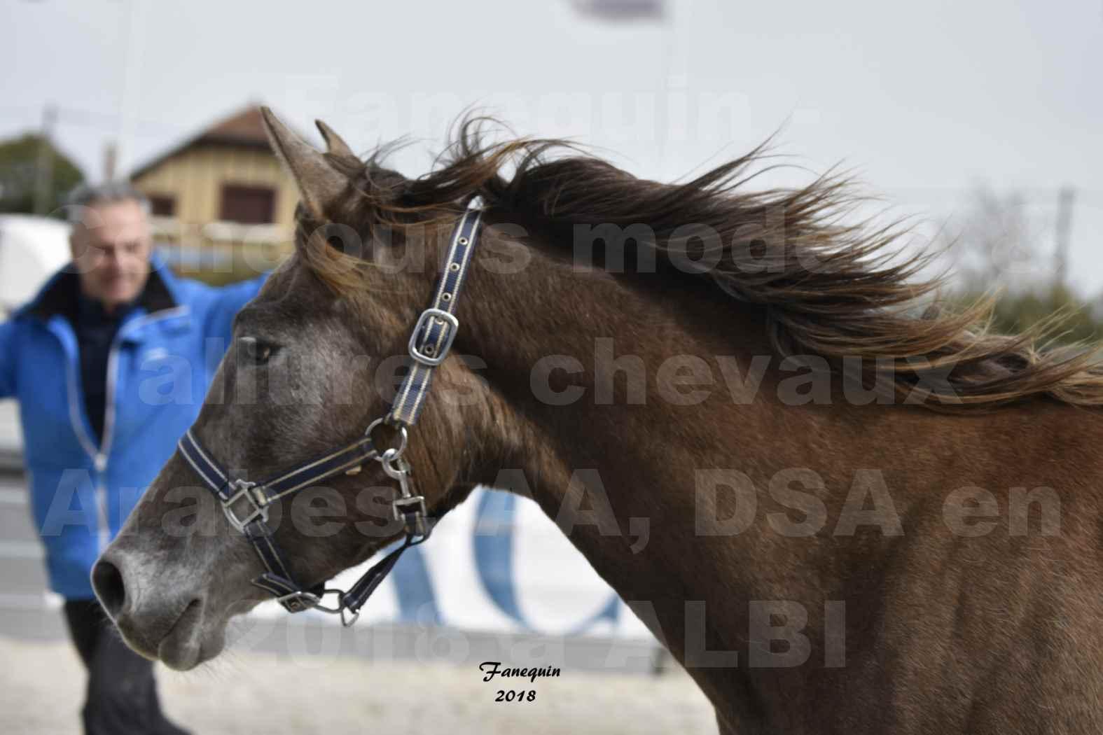 Concours d'élevage de Chevaux Arabes - Demi Sang Arabes - Anglo Arabes - ALBI les 6 & 7 Avril 2018 - FARAH DU CARRELIE - Notre Sélection - Portraits - 2