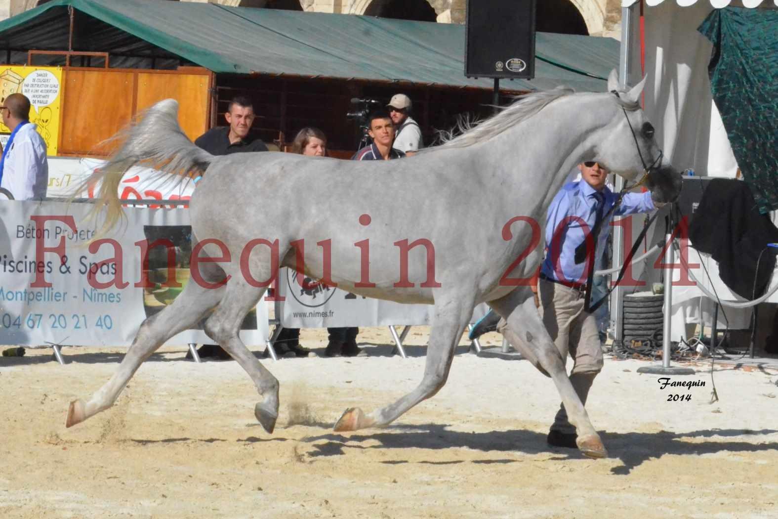 Concours National de Nîmes de chevaux ARABES 2014 - Notre Sélection - ELLESTERA - 11