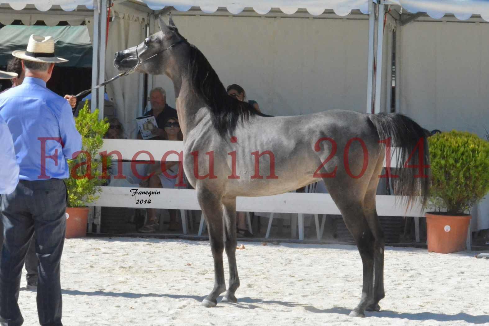 Concours National de Nîmes de chevaux ARABES 2014 - Notre Sélection - JOSEPH'S BOUZIOLS - 19
