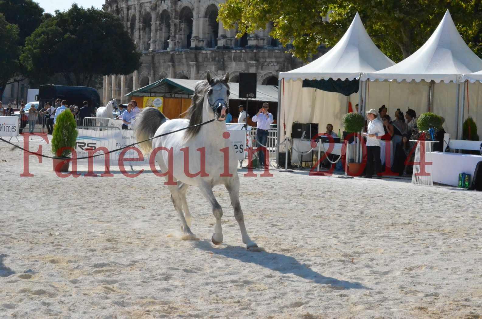Concours National de Nîmes de chevaux ARABES 2014 - Championnat - SHAOLIN DE NEDJAIA - 38
