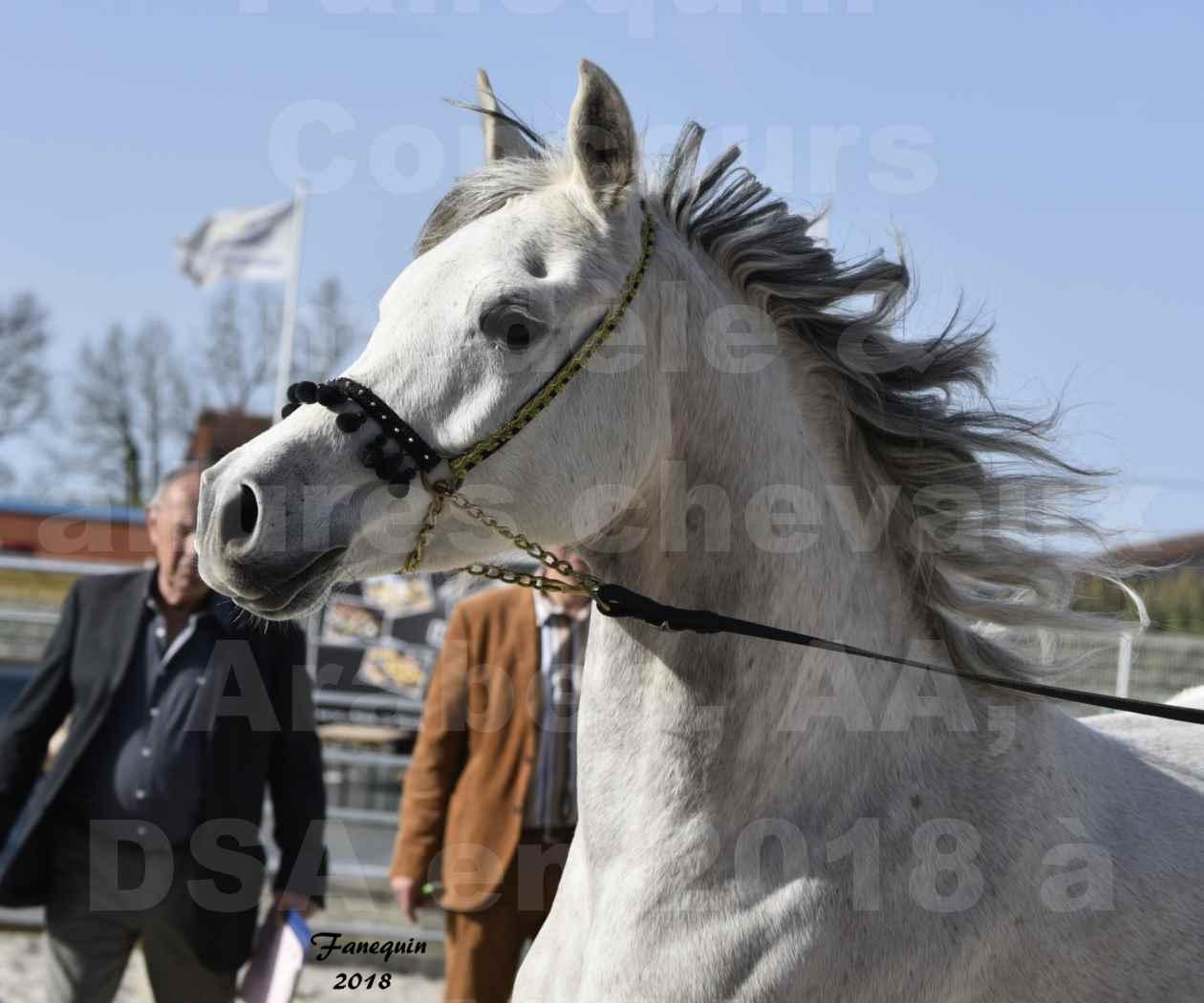 Concours d'élevage de Chevaux Arabes - Demi Sang Arabes - Anglo Arabes - ALBI les 6 & 7 Avril 2018 - NAÏM DE L'OLIVIER - Notre Sélection - Portraits - 2
