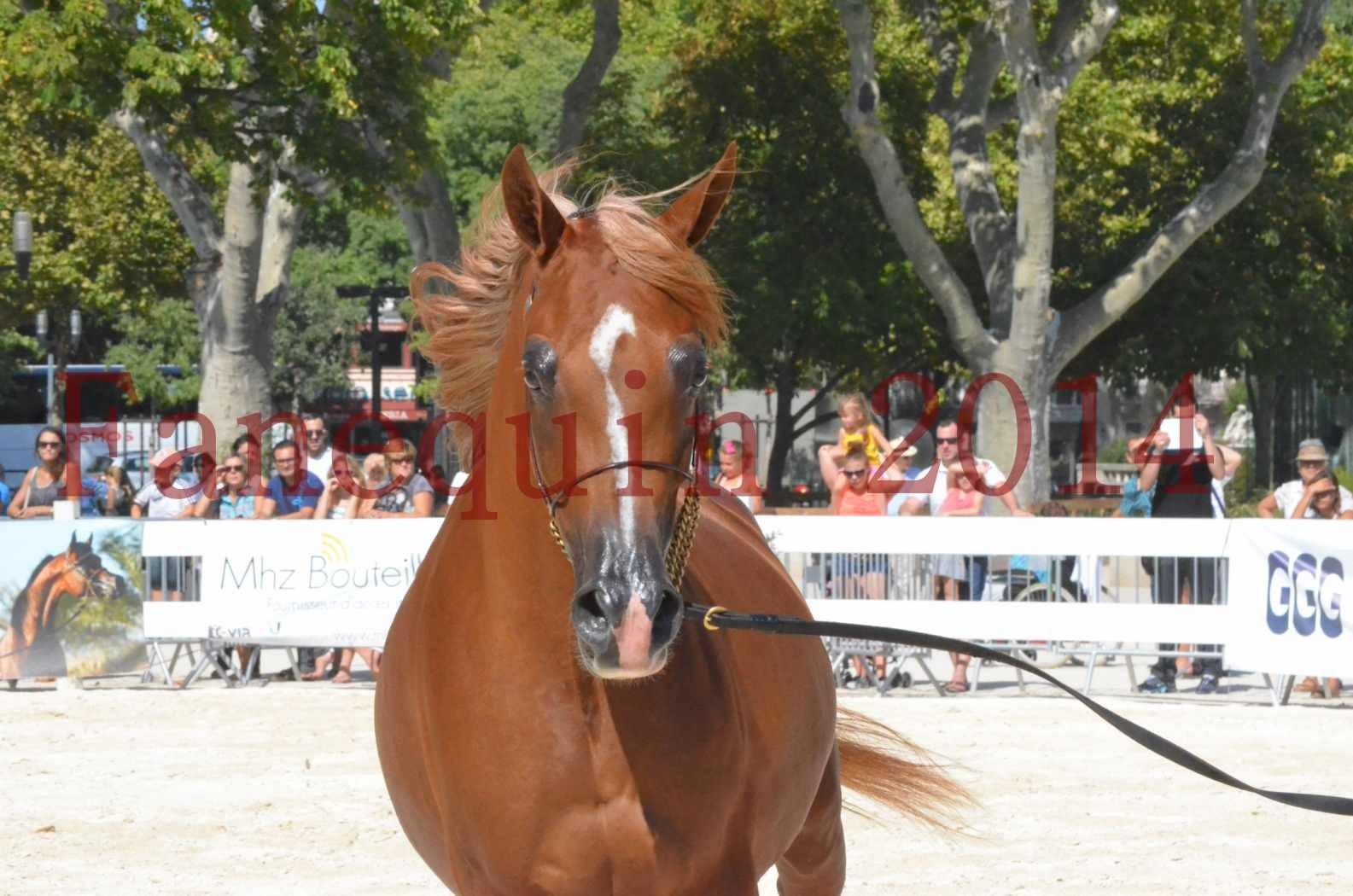 Concours National de Nîmes de chevaux ARABES 2014 - Championnat - MASSAI DE BARREL - 33