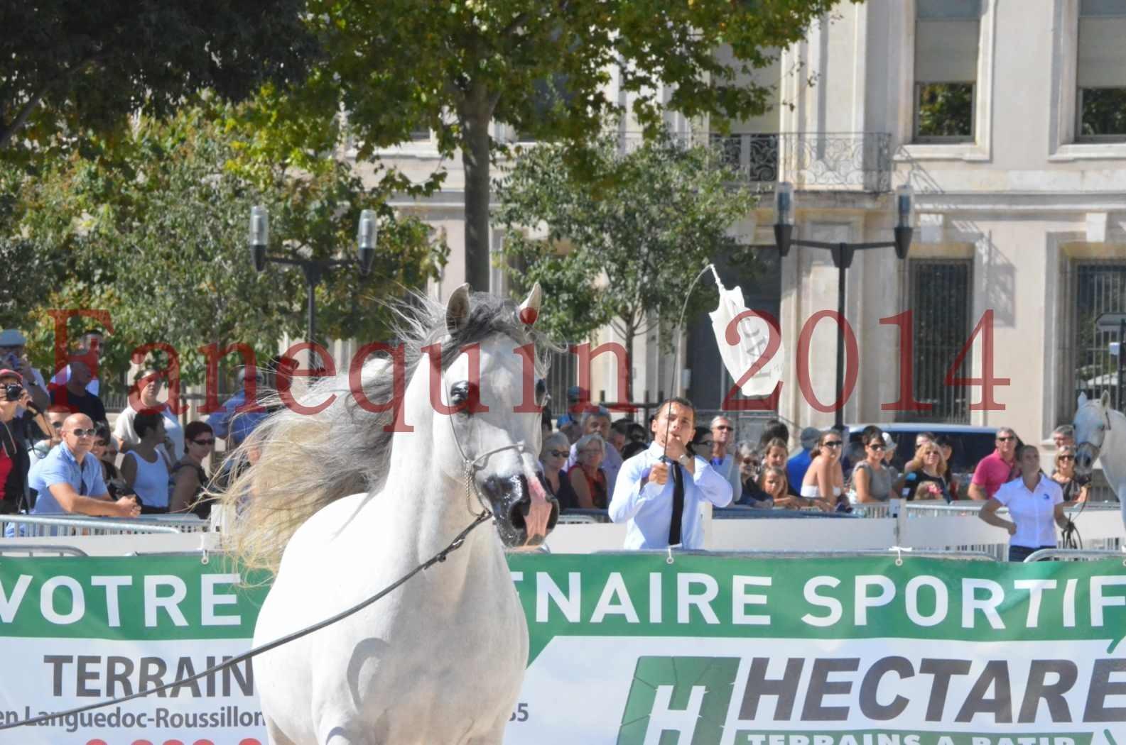 Concours National de Nîmes de chevaux ARABES 2014 - Sélection - SHAOLIN DE NEDJAIA - 53