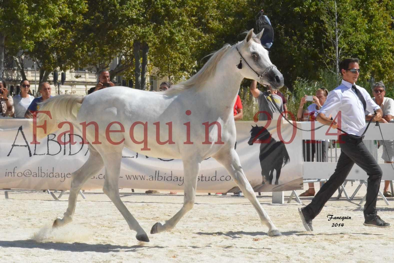 Concours National de Nîmes de chevaux ARABES 2014 - ENVY ETERNITY - 13