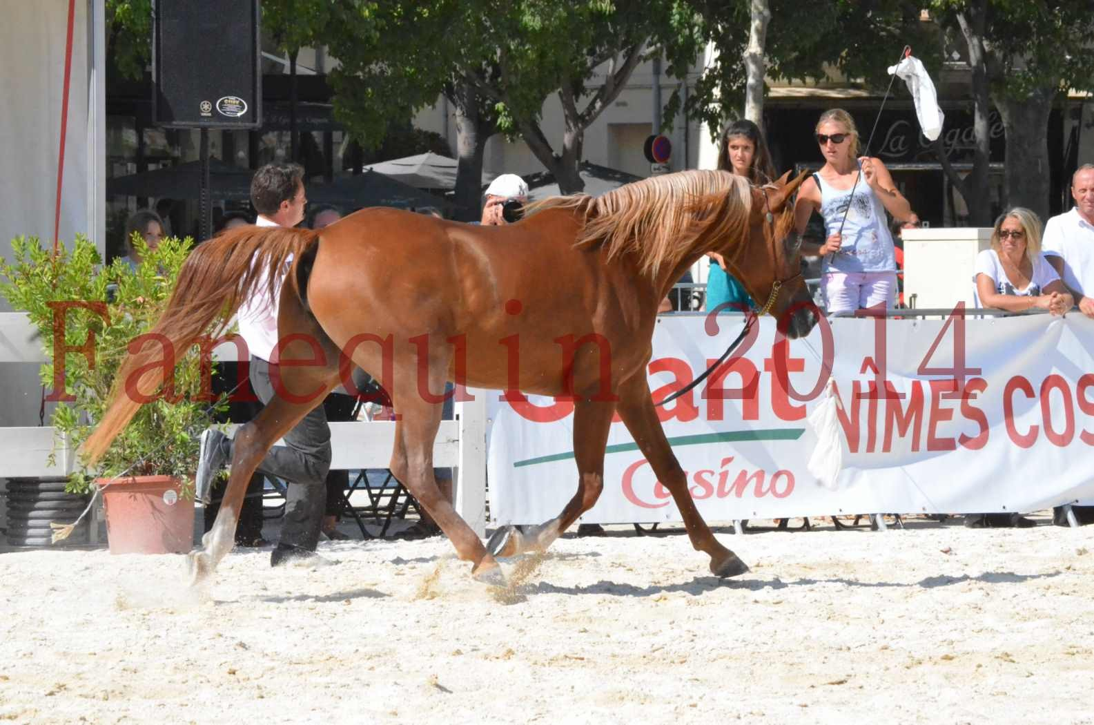 Concours National de Nîmes de chevaux ARABES 2014 - Championnat - MASSAI DE BARREL - 18