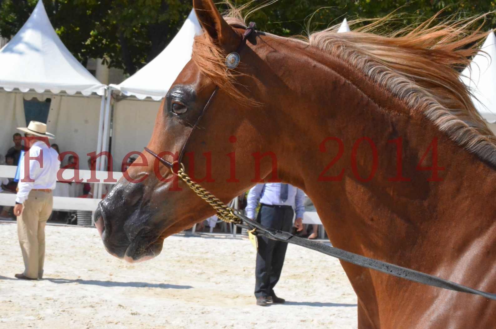 Concours National de Nîmes de chevaux ARABES 2014 - Championnat - MASSAI DE BARREL - 36