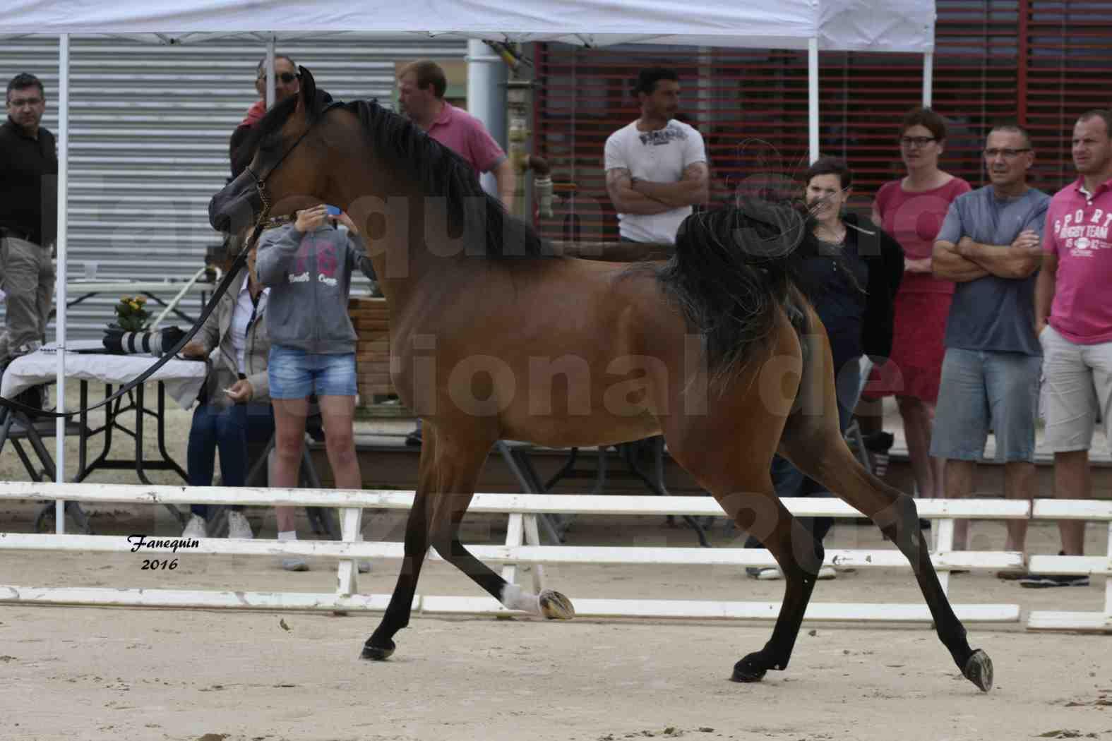 Show national de chevaux arabes de CHAZEY sur AIN - JAMEELAH AL ADEYAT - 1