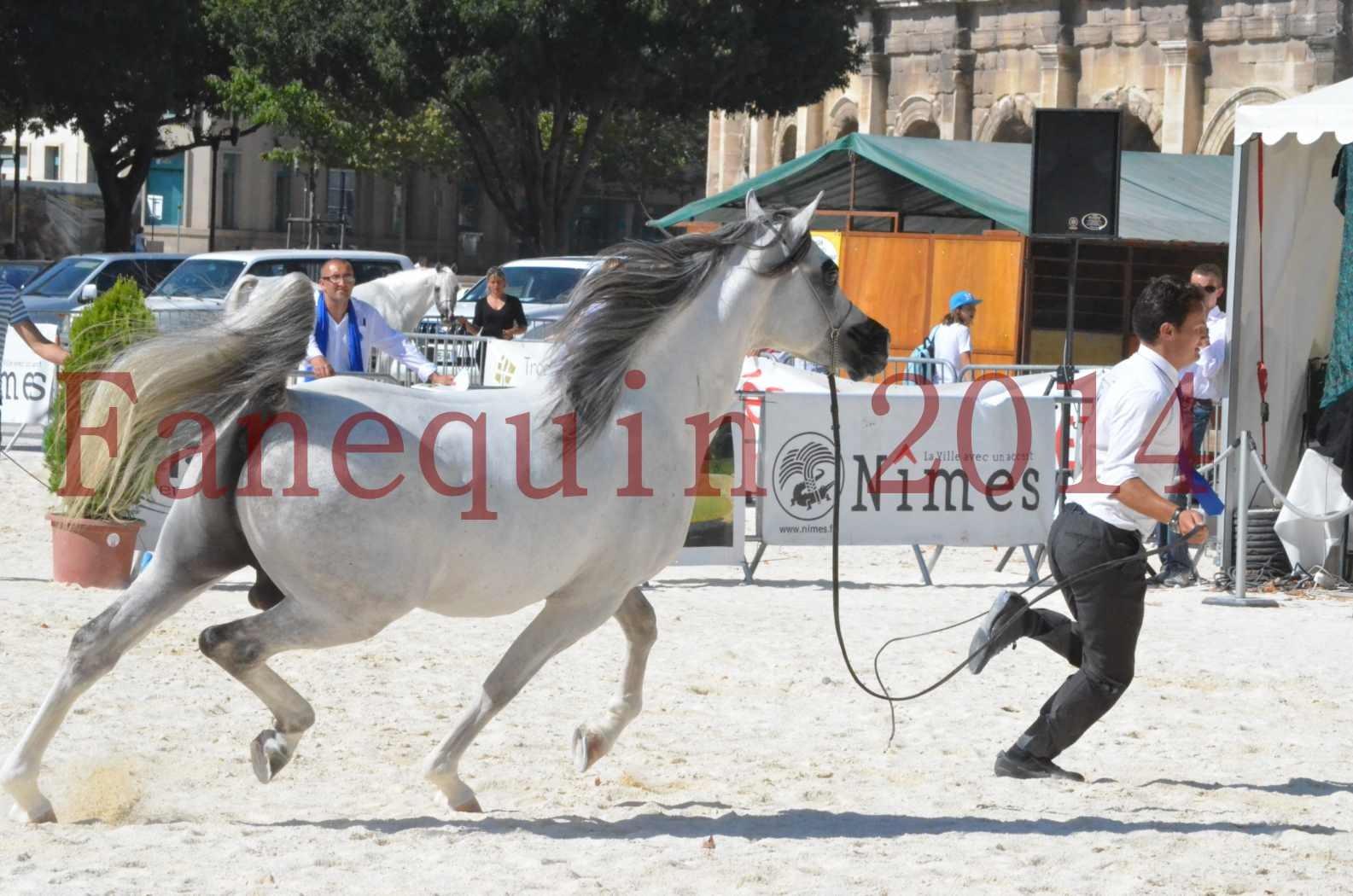 Concours National de Nîmes de chevaux ARABES 2014 - Sélection - SHAOLIN DE NEDJAIA - 59