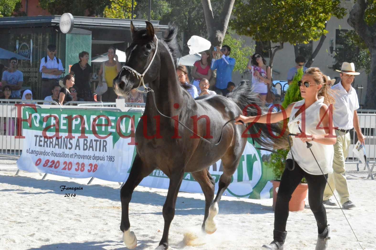 Concours National de Nîmes de chevaux ARABES 2014 - Notre Sélection - BALTYK DE CHAUMONT - 3