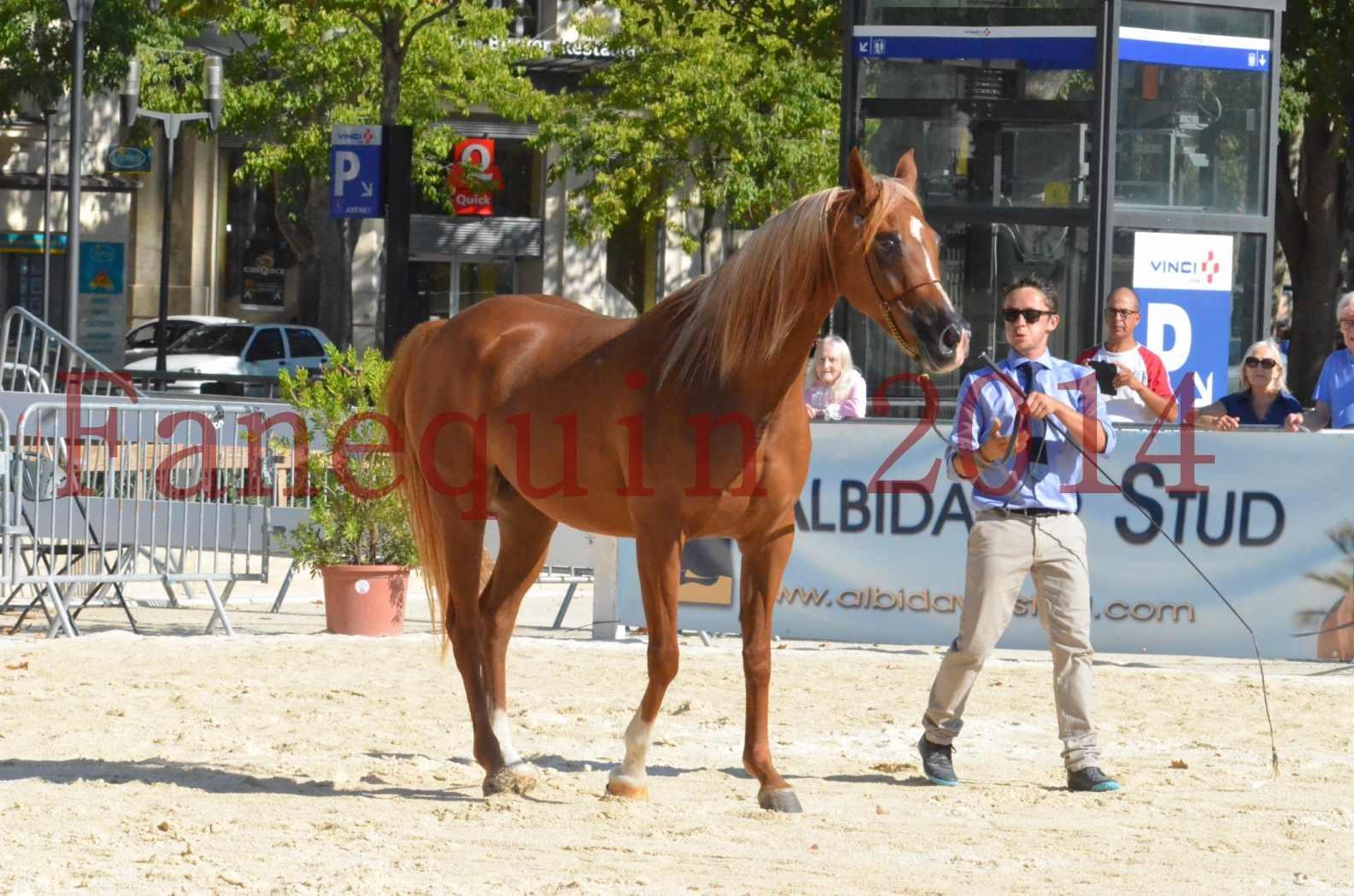 Concours National de Nîmes de chevaux ARABES 2014 - Championnat - MASSAI DE BARREL - 48