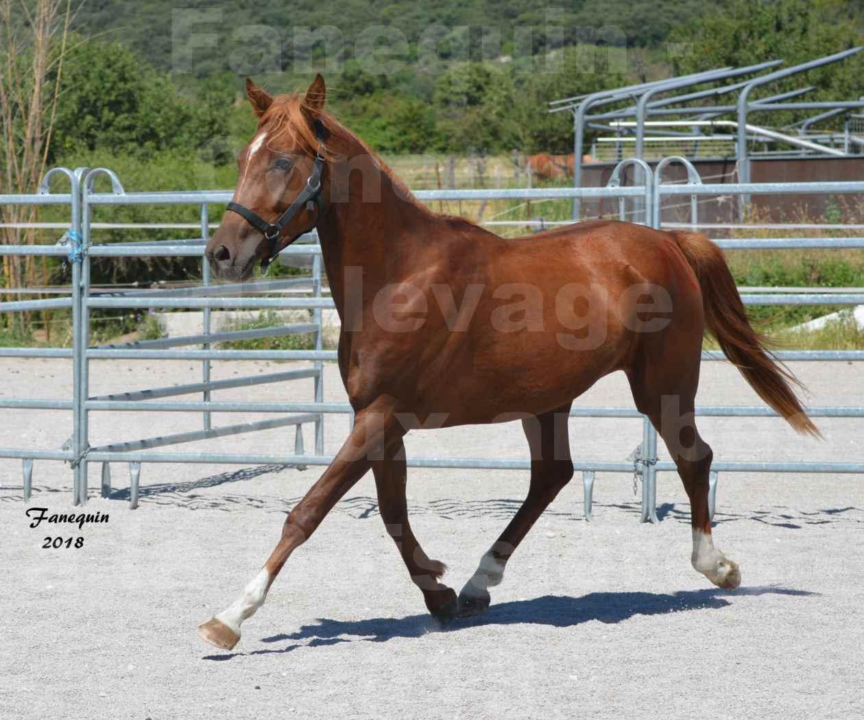 Concours d'Elevage de chevaux Arabes  le 27 juin 2018 à la BOISSIERE - FINLEY DES DOLINES - 04