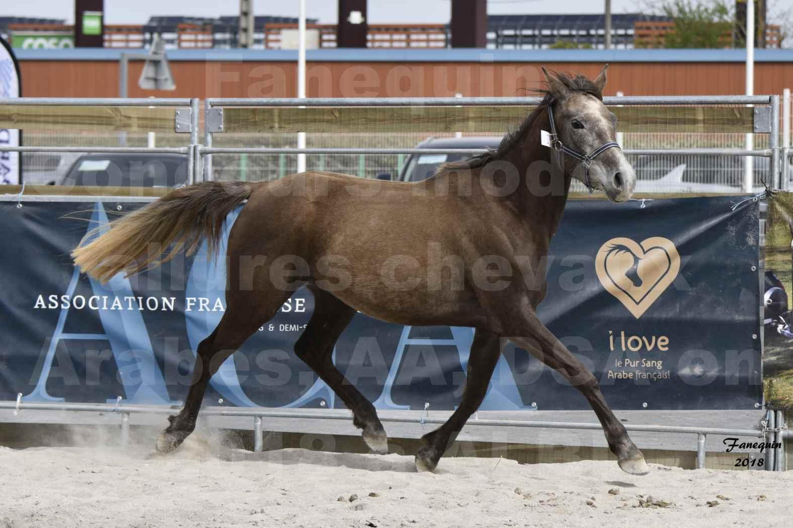 Concours d'élevage de Chevaux Arabes - Demi Sang Arabes - Anglo Arabes - ALBI les 6 & 7 Avril 2018 - FARAH DU CARRELIE - Notre Sélection - 09