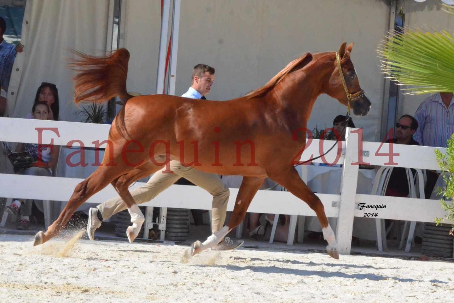Concours National de Nîmes de chevaux ARABES 2014 - Notre Sélection - DZHARI NUNKI - 01
