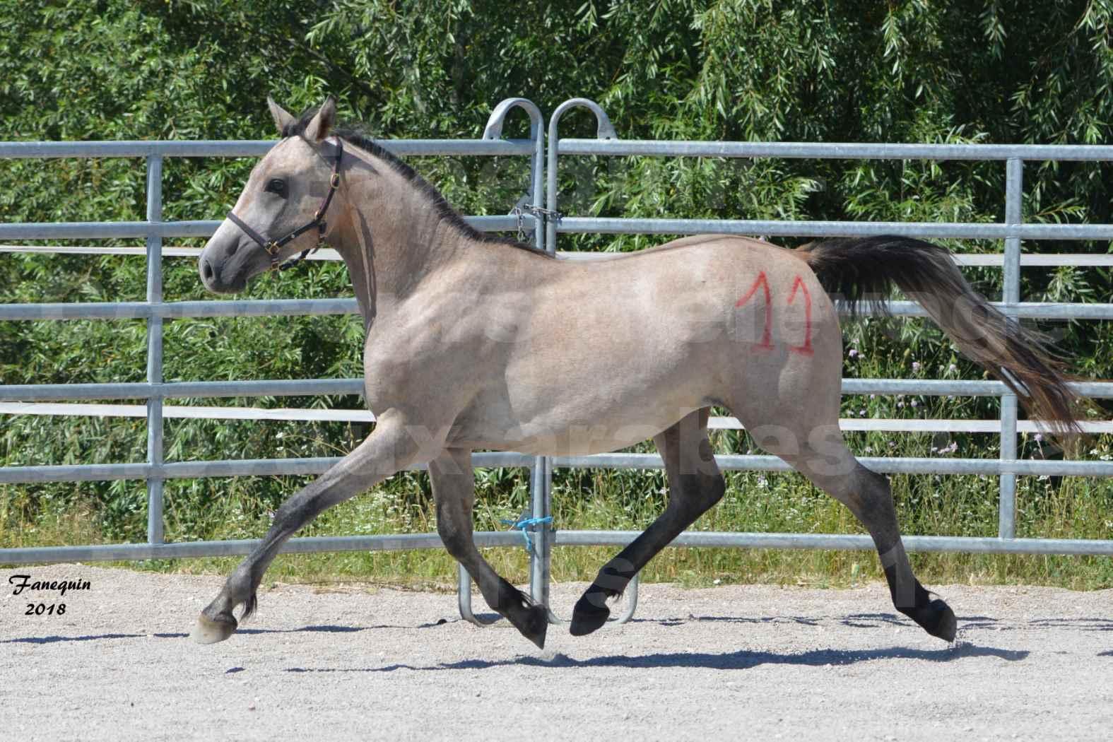 Concours d'Elevage de chevaux Arabes  le 27 juin 2018 à la BOISSIERE - GAZRAK D'AURIERES - 09