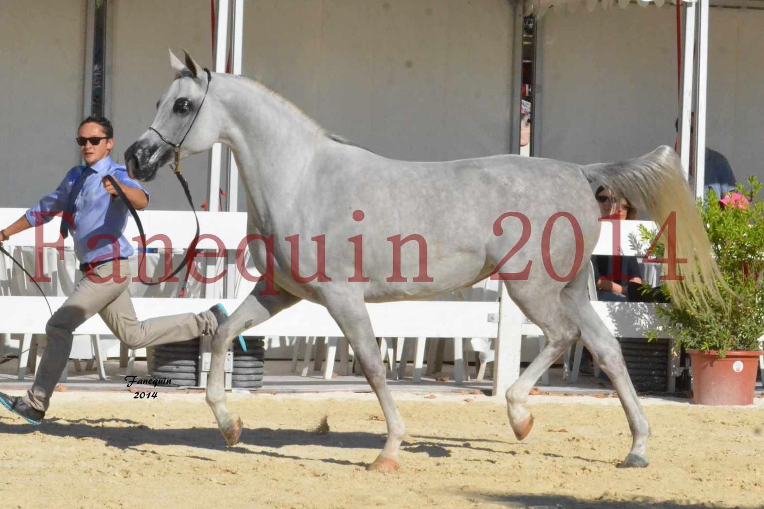 Concours National de Nîmes de chevaux ARABES 2014 - Notre Sélection - ELLESTERA - 16