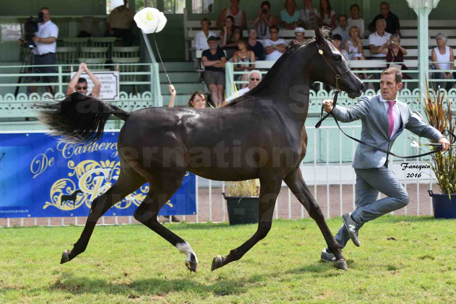 International Arabian Horse Show B de VICHY 2016 - ANNALISA ALIH - Notre Sélection - 7