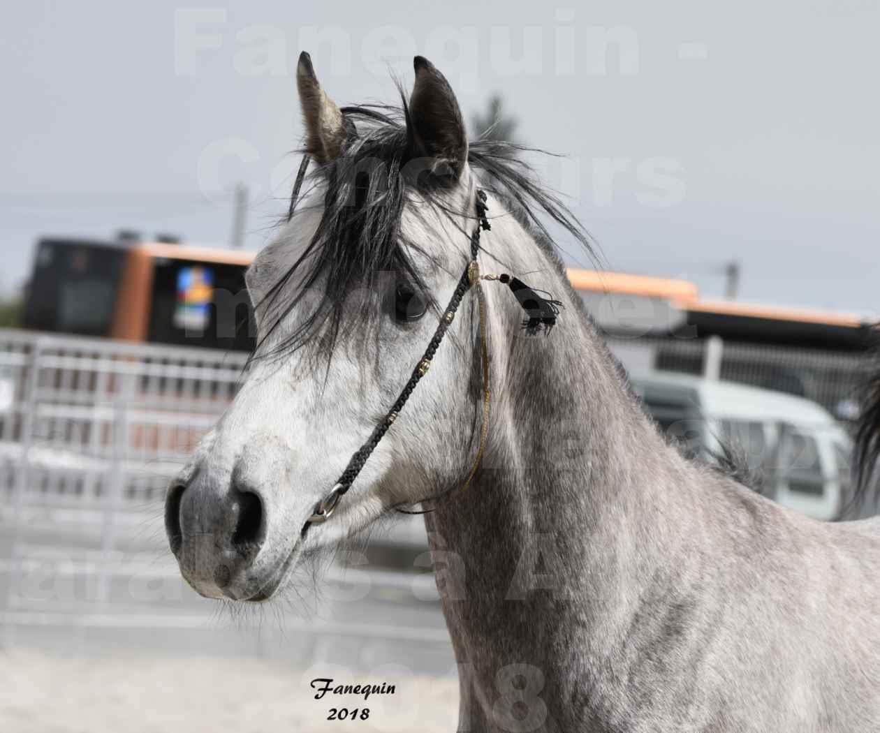 Concours d'élevage de Chevaux Arabes - Demi Sang Arabes - Anglo Arabes - ALBI les 6 & 7 Avril 2018 - FLORAC LARZAC - Notre Sélection - Portraits - 7