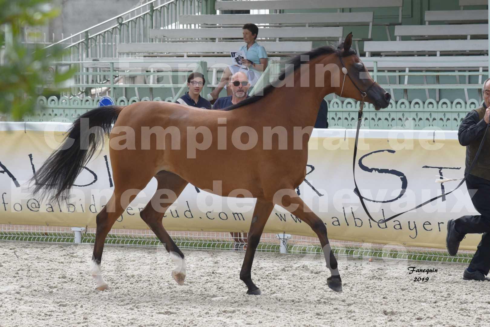 Championnat de France des chevaux Arabes en 2019 à VICHY - SH CHARISMA - 4
