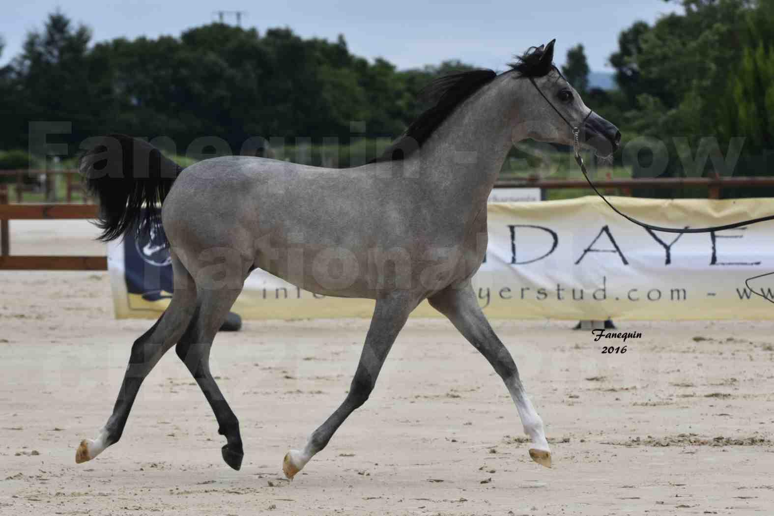 Show national de chevaux arabes de CHAZEY sur AIN 6 HAÏFA AL ADEYAT - 1