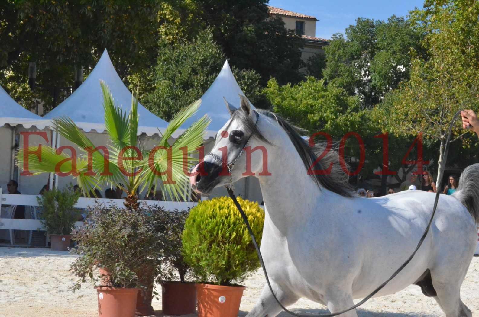 Concours National de Nîmes de chevaux ARABES 2014 - Championnat - SHAOLIN DE NEDJAIA - 31