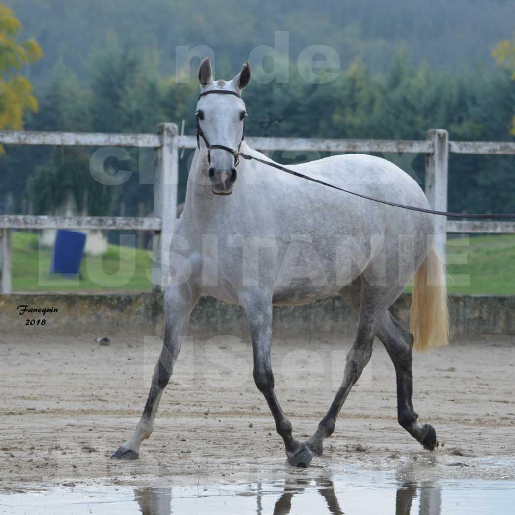 Confirmation de chevaux LUSITANIENS aux Haras d'UZES Novembre 2018 - DANAÏDE DU MOLE - 3