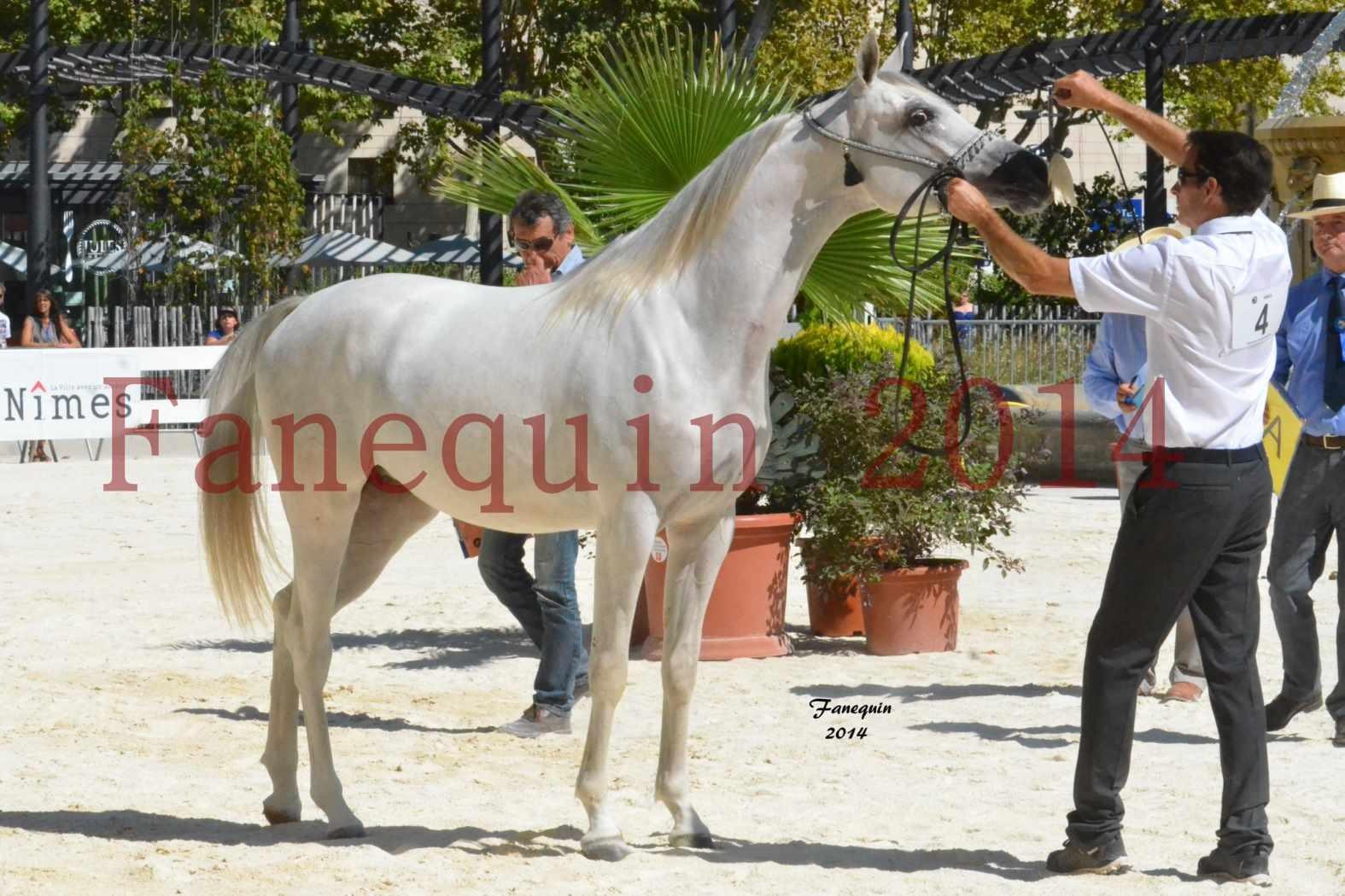 Concours National de Nîmes de chevaux ARABES 2014 - ENVY ETERNITY - 16