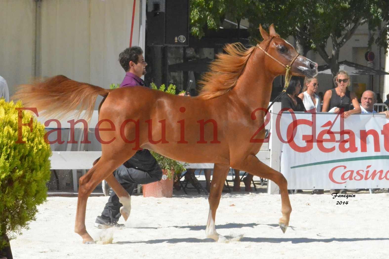 Concours National de Nîmes de chevaux ARABES 2014 - Notre Sélection - TSAR NERIO - 09