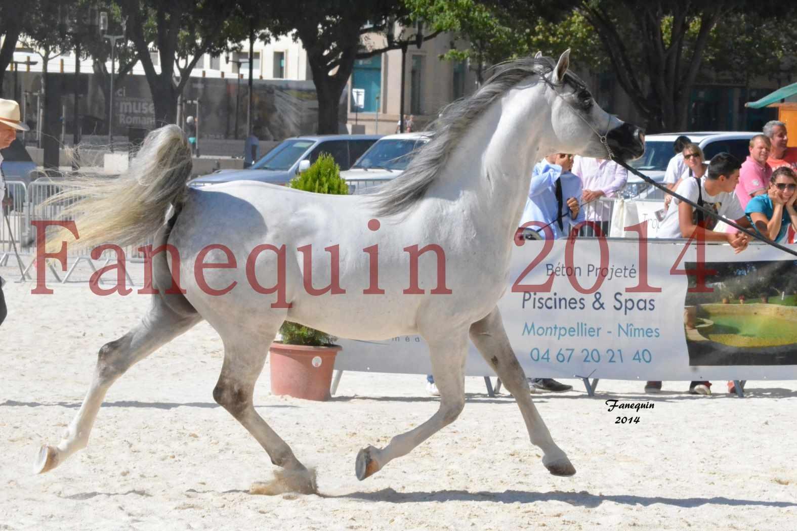Concours National de Nîmes de chevaux ARABES 2014 - Notre Sélection - SHAOLIN DE NEDJAIA - 06