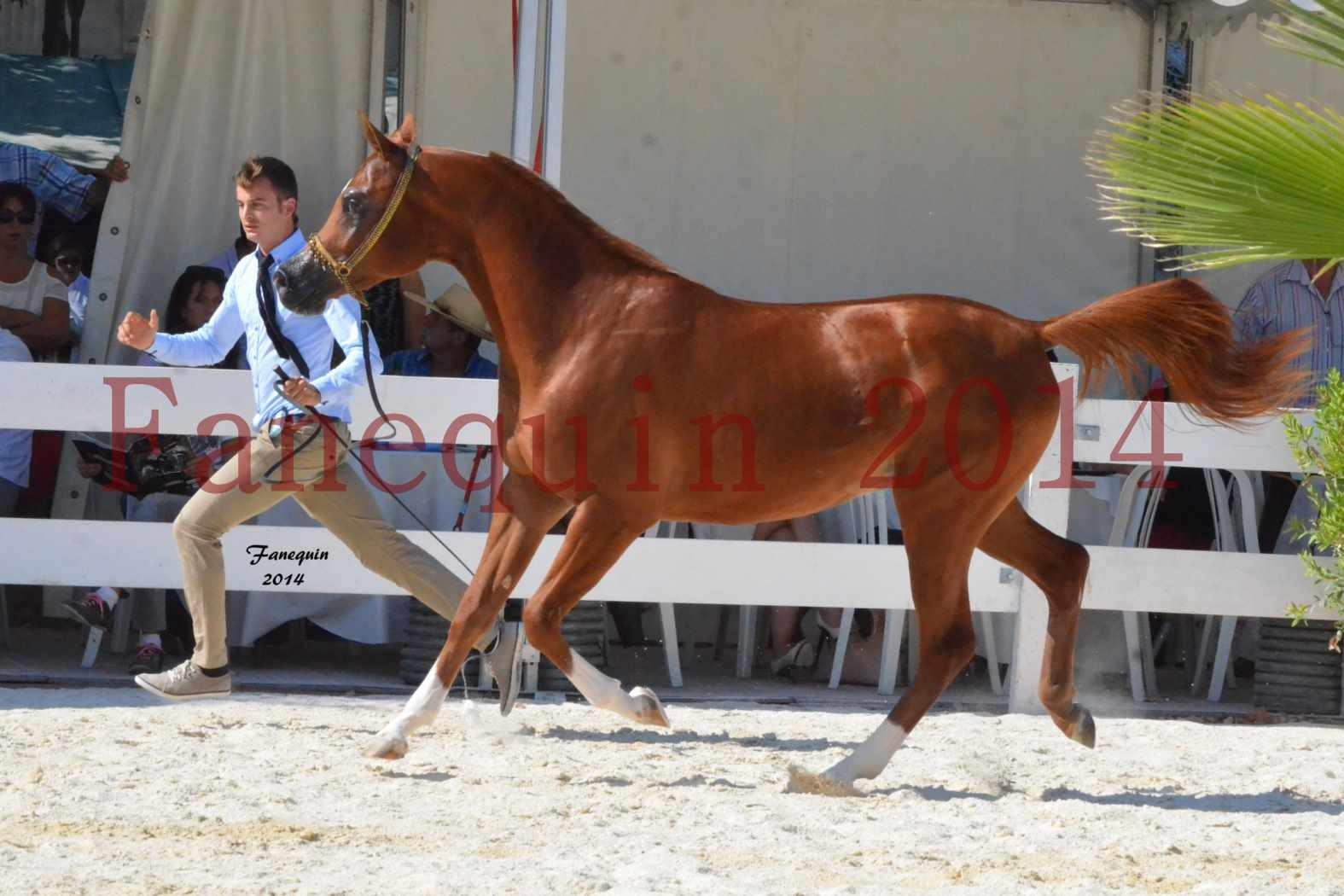 Concours National de Nîmes de chevaux ARABES 2014 - Notre Sélection - DZHARI NUNKI - 07