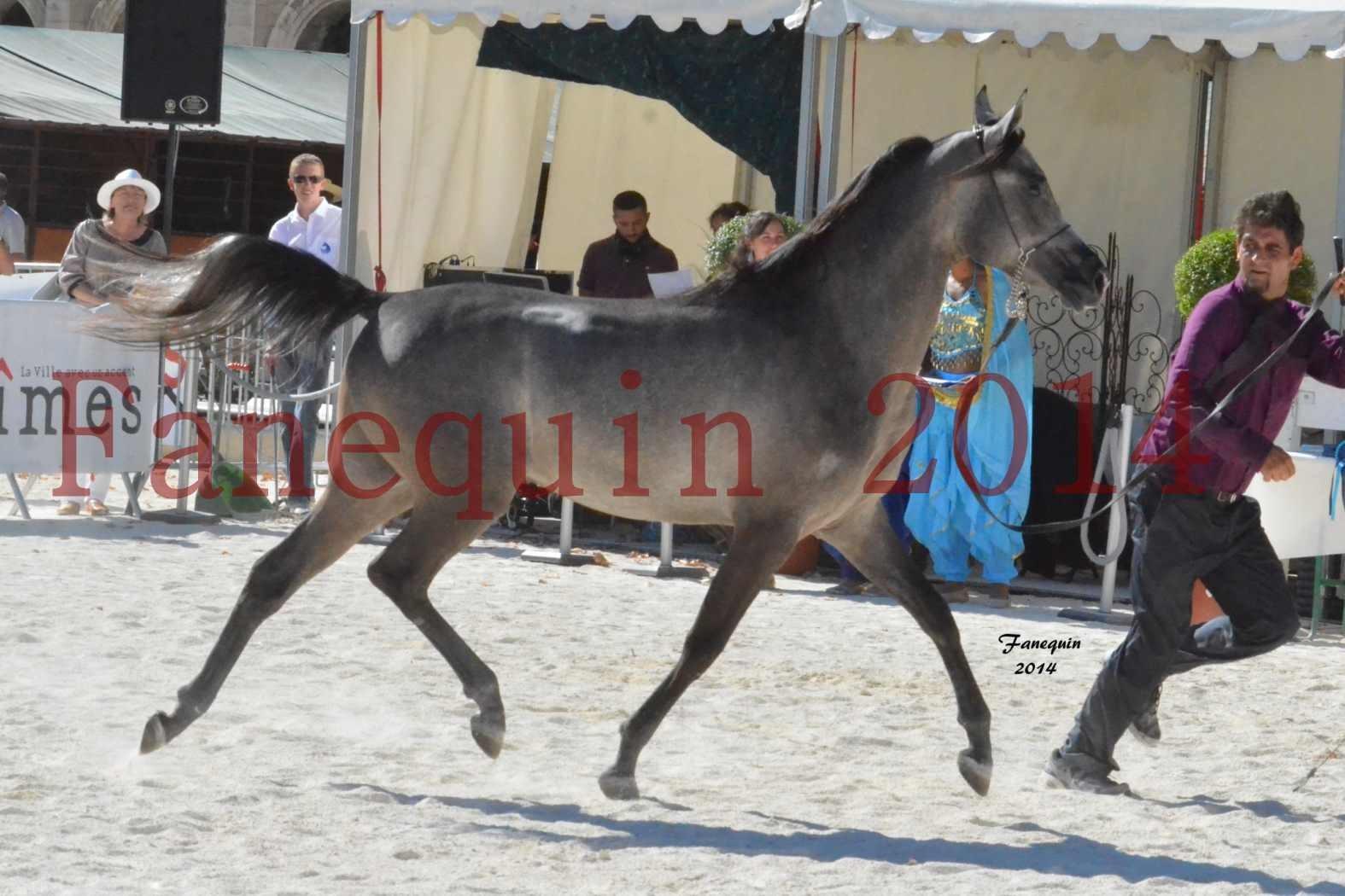 Concours National de Nîmes de chevaux ARABES 2014 - Notre Sélection - JOSEPH'S BOUZIOLS - 06