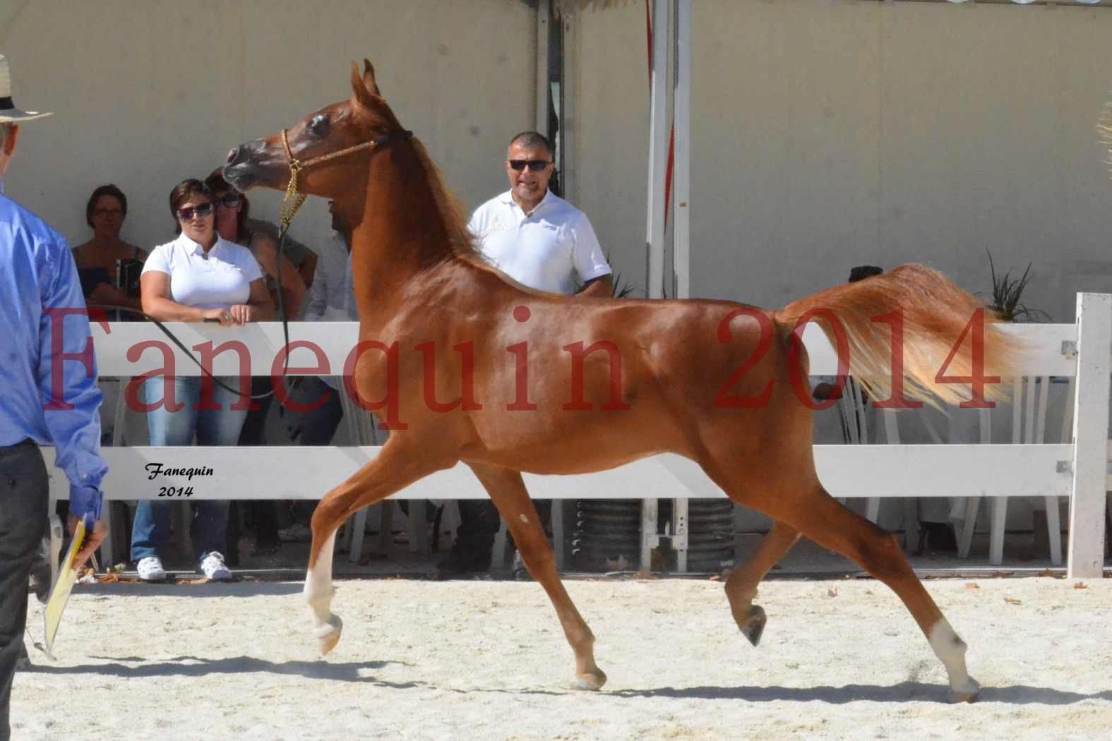 Concours National de Nîmes de chevaux ARABES 2014 - Notre Sélection - TSAR NERIO - 01