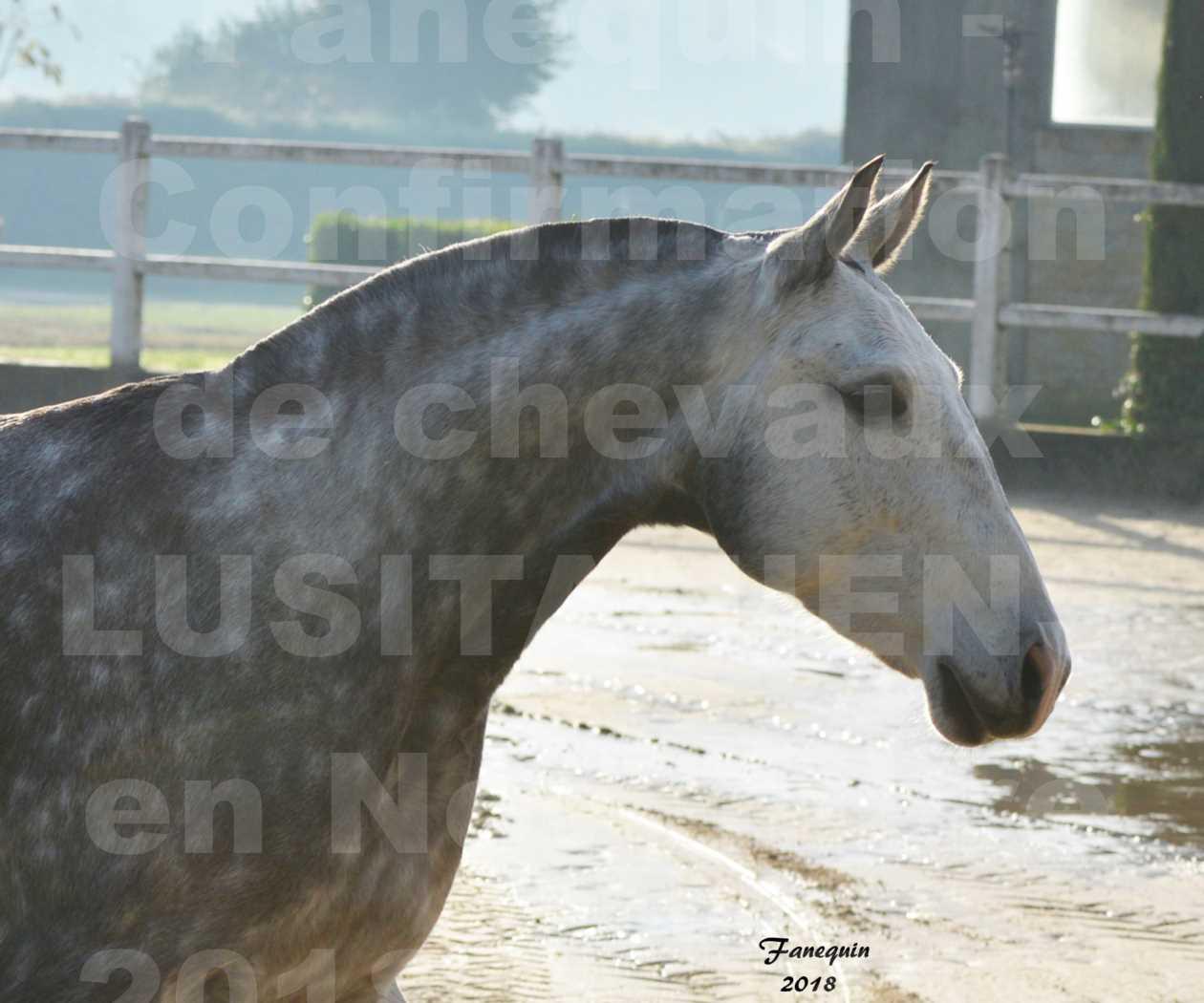 Confirmation de chevaux LUSITANIENS aux Haras d'UZES Novembre 2018 - JANIA SAINT SAUVEUR - Portraits - 2