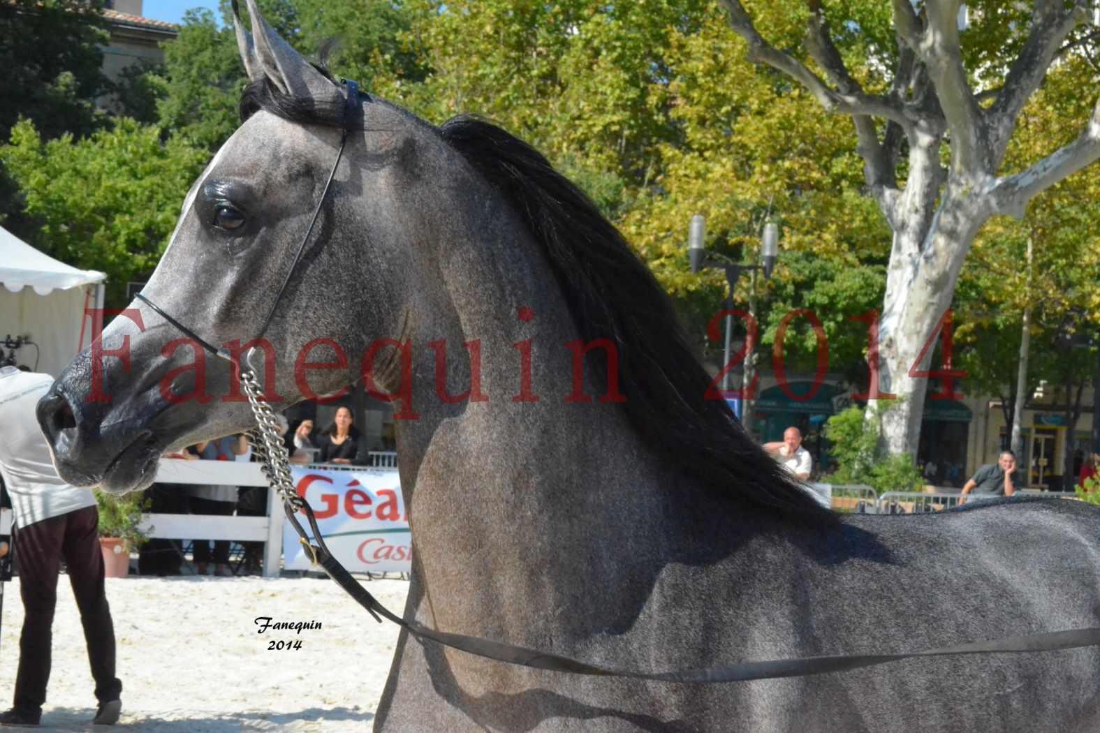 Concours National de Nîmes de chevaux ARABES 2014 - Notre Sélection - Portraits - JOSEPH'S BOUZIOLS - 10