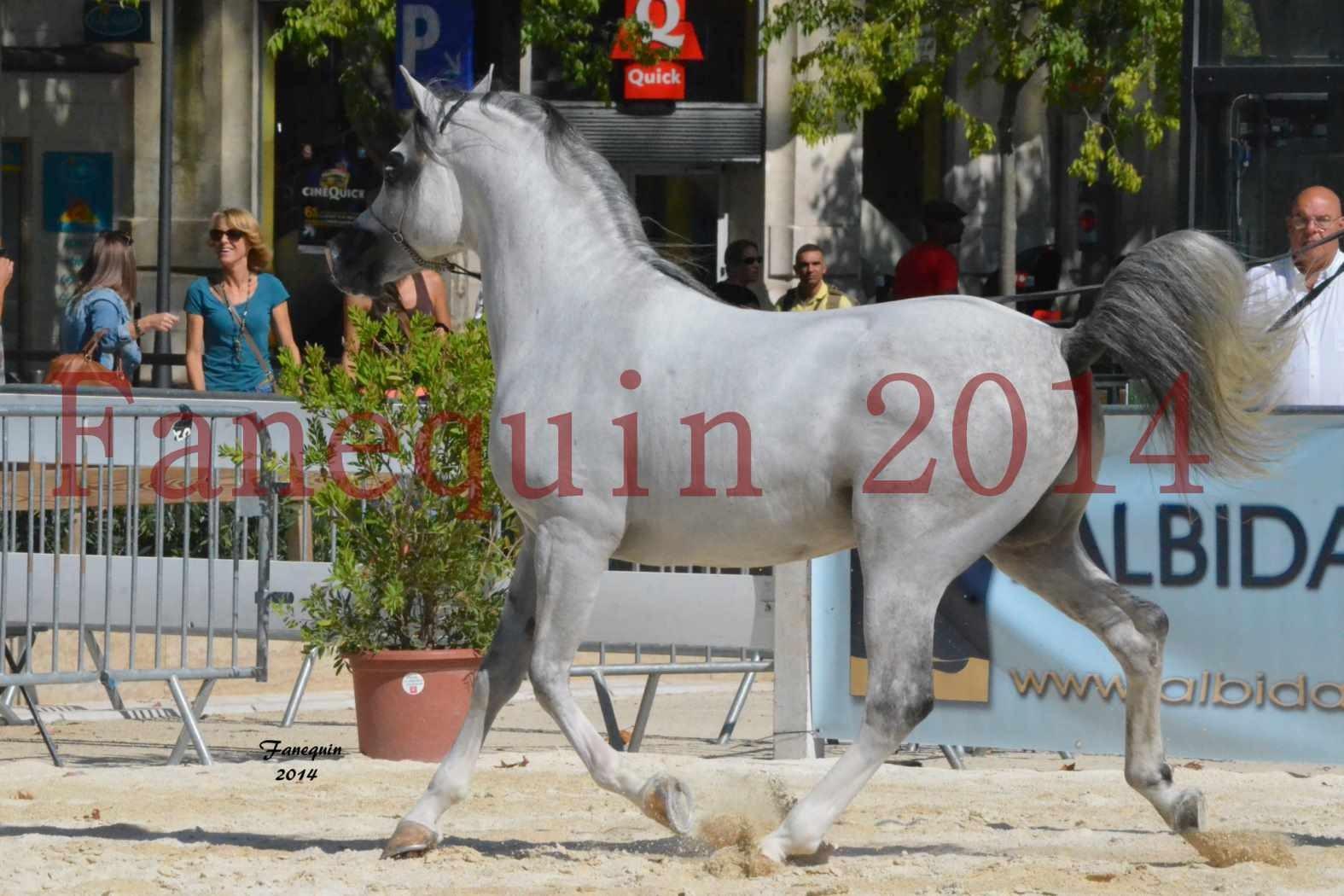 Concours National de Nîmes de chevaux ARABES 2014 - Notre Sélection - SHAOLIN DE NEDJAIA - 19
