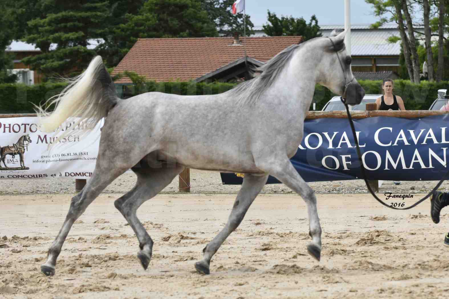 Show national de chevaux arabe à CHAZEY sur AIN - ANWAR ISHANE - 07