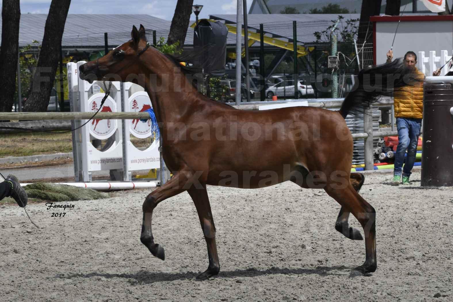 """Concours international de chevaux ARABES - """"Arabian Masters"""" Bordeaux 2017 - JABBOK DE NAUTIAC - 03"""