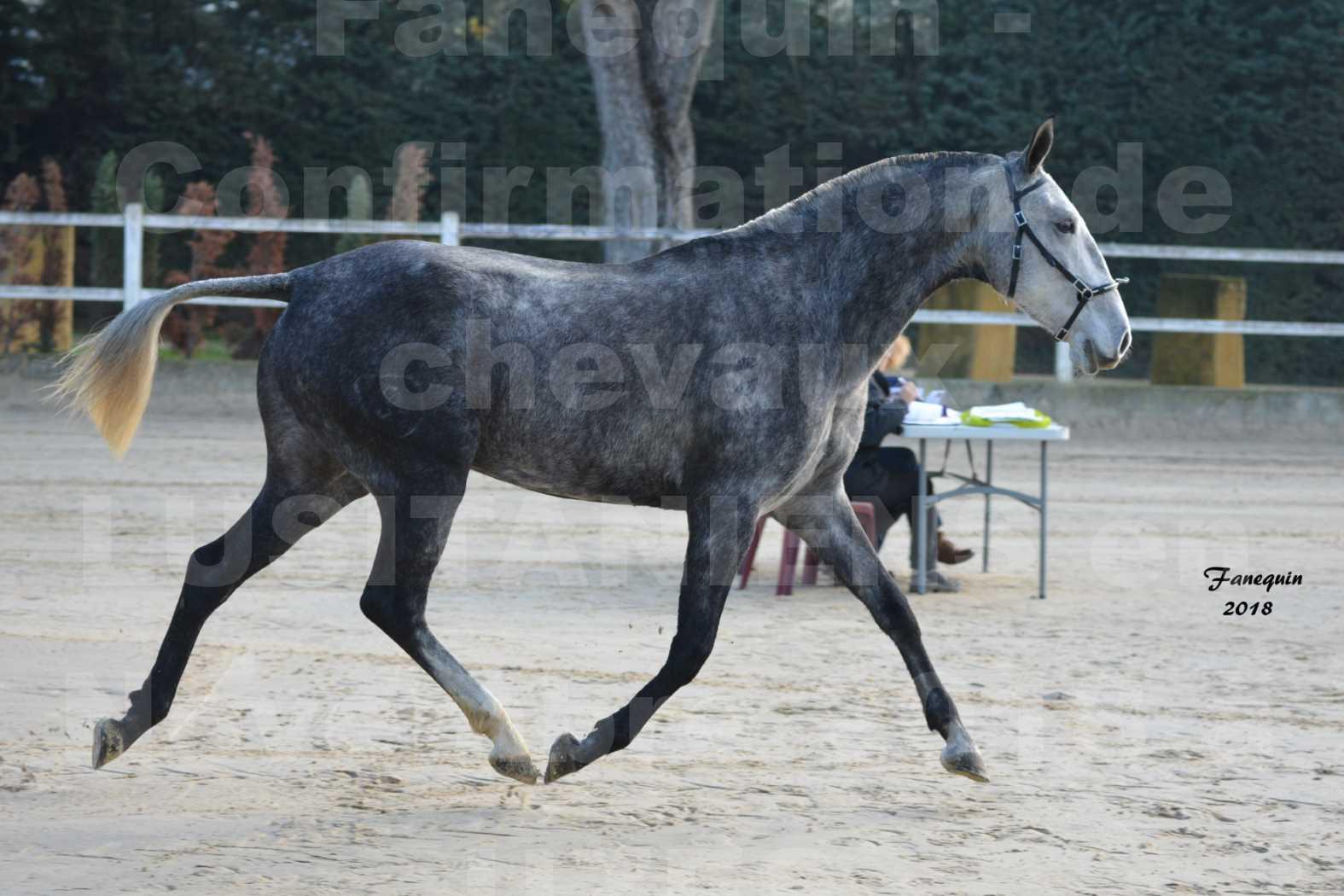 Confirmation de chevaux LUSITANIENS aux Haras d'UZES Novembre 2018 - DALIA DU CLOS - 4
