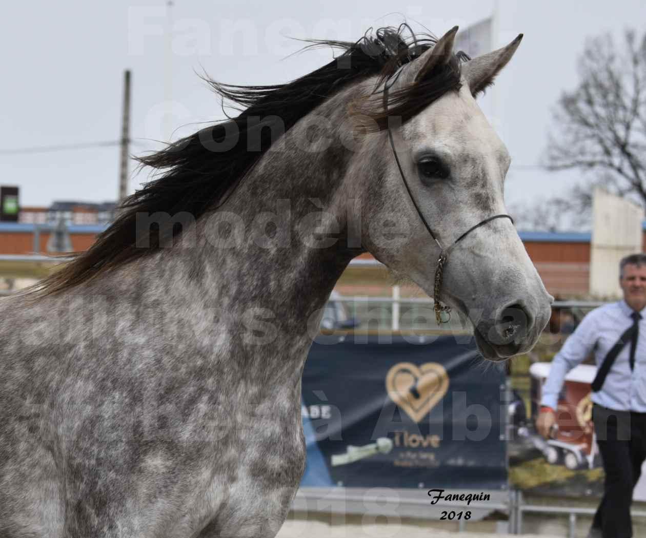 Concours d'élevage de Chevaux Arabes - Demi Sang Arabes - Anglo Arabes - ALBI les 6 & 7 Avril 2018 - PERCEVAL DE LAFON - Notre Sélection - Portraits - 02