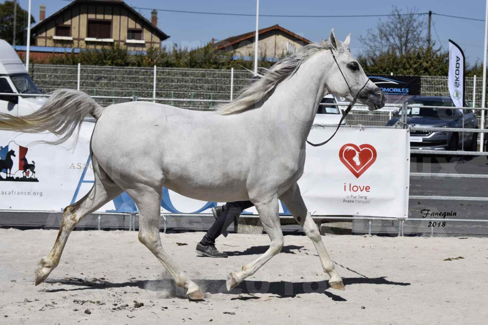 Concours d'élevage de Chevaux Arabes - Demi Sang Arabes - Anglo Arabes - ALBI les 6 & 7 Avril 2018 - FEDORA DE LAFON - Notre Sélection - 2
