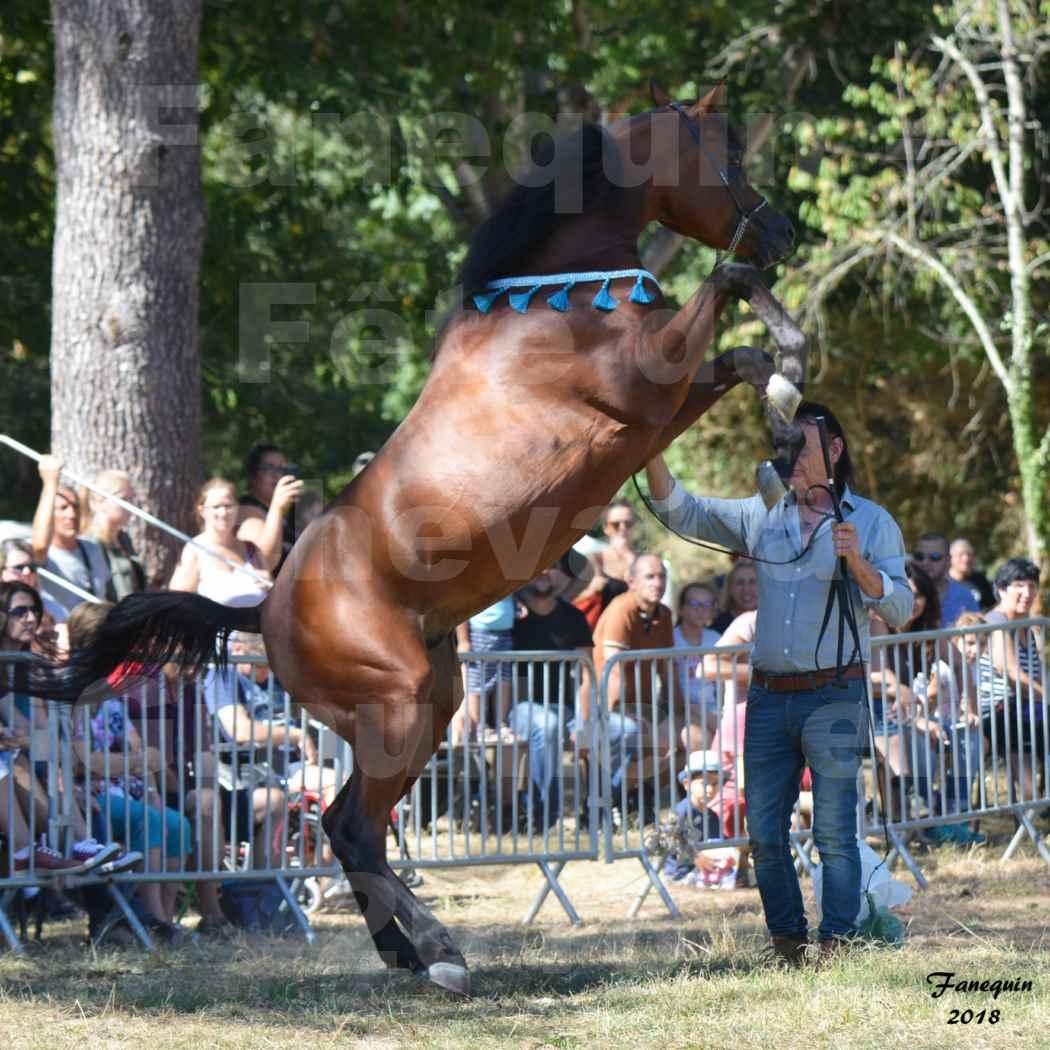 Fête du cheval à GRAULHET le 16 septembre 2018 - Présentation de chevaux Arabe Elevage de GACIA - 06