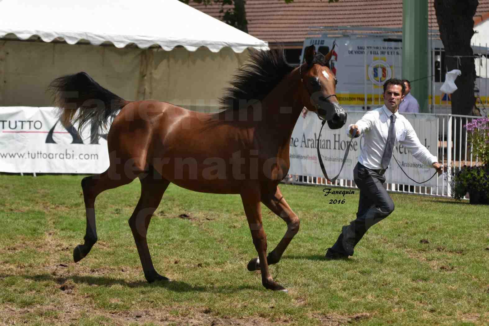 International Arabian Horse Show B de VICHY 2016 - ASRAR MS - Notre Sélection - 2