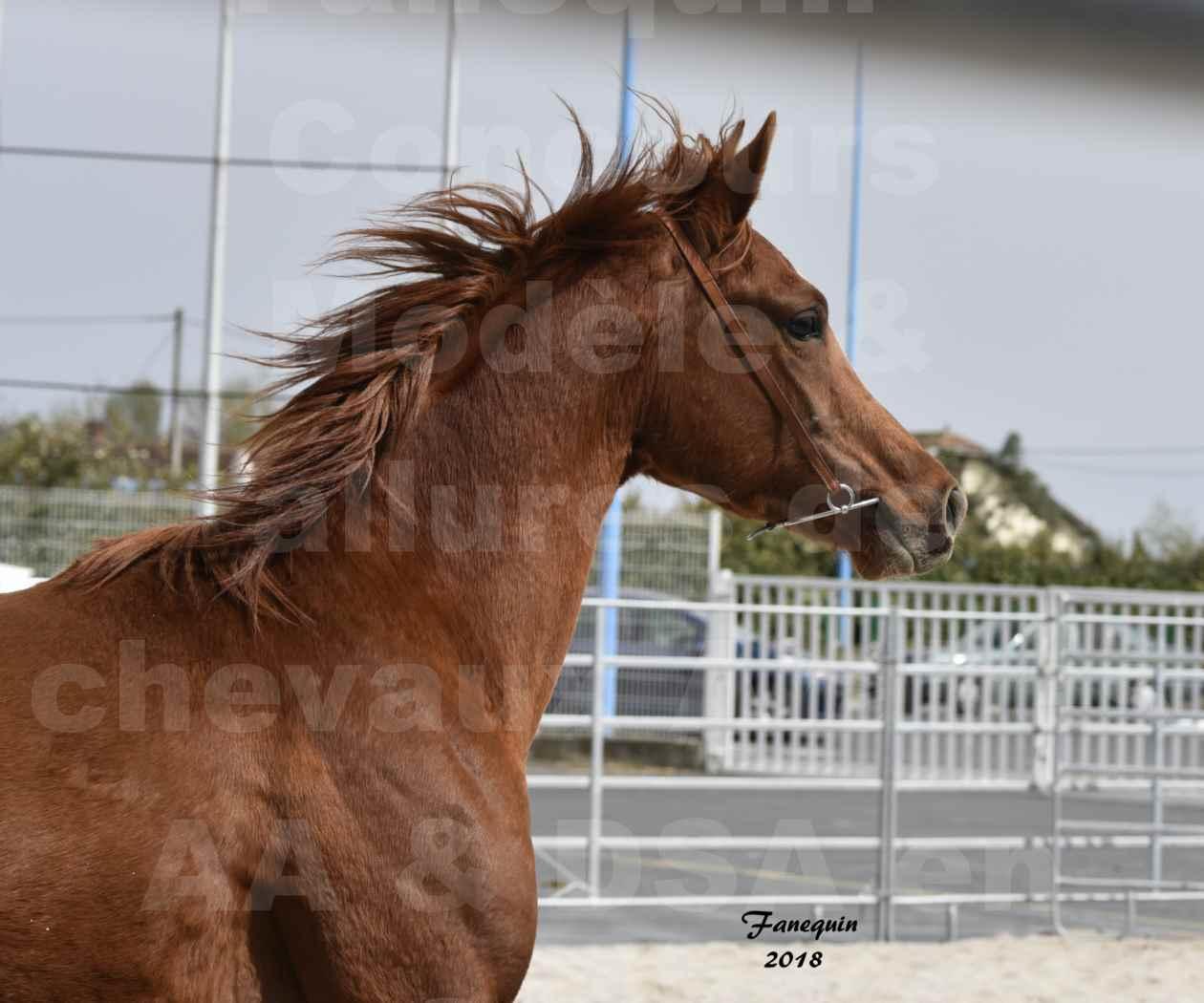 Concours d'élevage de Chevaux Arabes - Demi Sang Arabes - Anglo Arabes - ALBI les 6 & 7 Avril 2018 - FLEURON CONDO - Notre Sélection - Portraits - 3