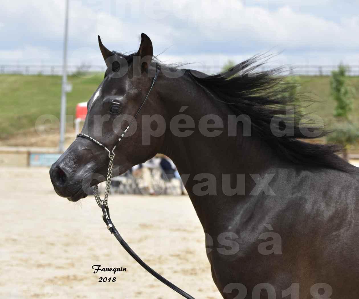 Concours Européen de chevaux Arabes à Chazey sur Ain 2018 - SDL MAGIC NIGHT STONE - Notre Sélection - Portraits - 2